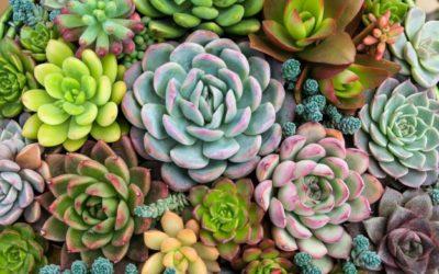 Suculentas, una moda verde