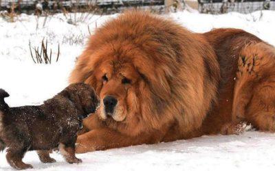Las 10 razas de perros más caras del mundo.