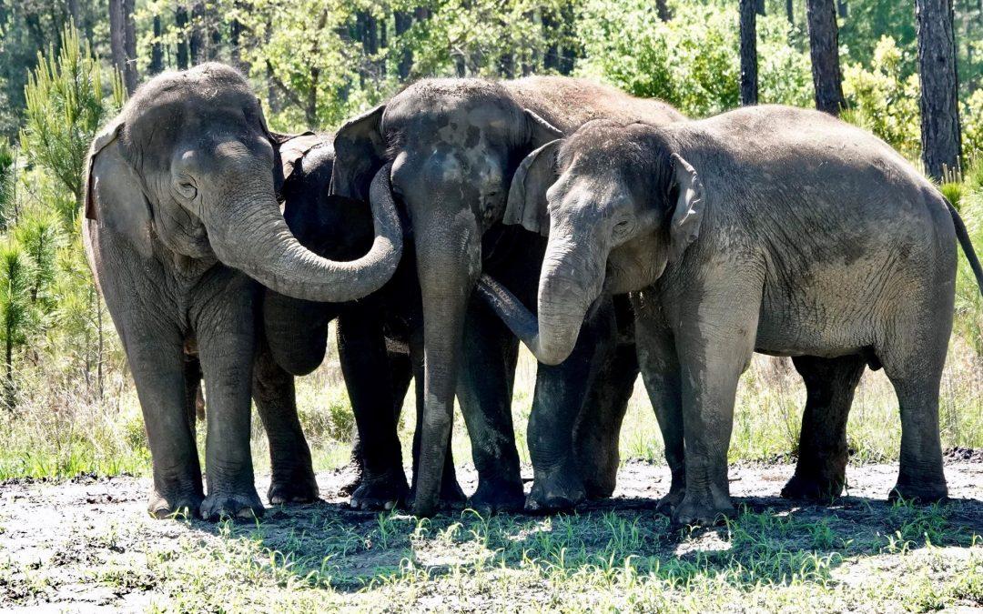 """Llegan elefantes """"jubilados"""" de circos a su nueva reserva natural en Florida"""